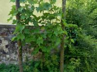 04_2017-07-05__87bde245___503a_Weinstock_im_Friedhof__Copyright_Foto__Helga_Becker
